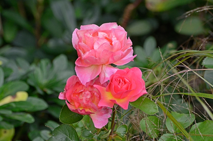 three Lilian Austin roses
