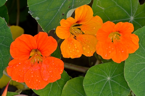 three nasturtiums