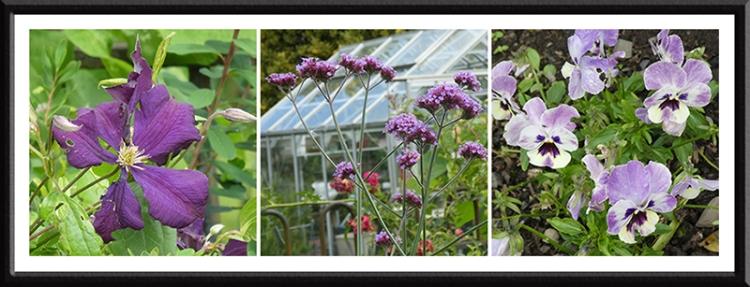 three purple garden flowers