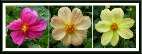 three rainy dahlias