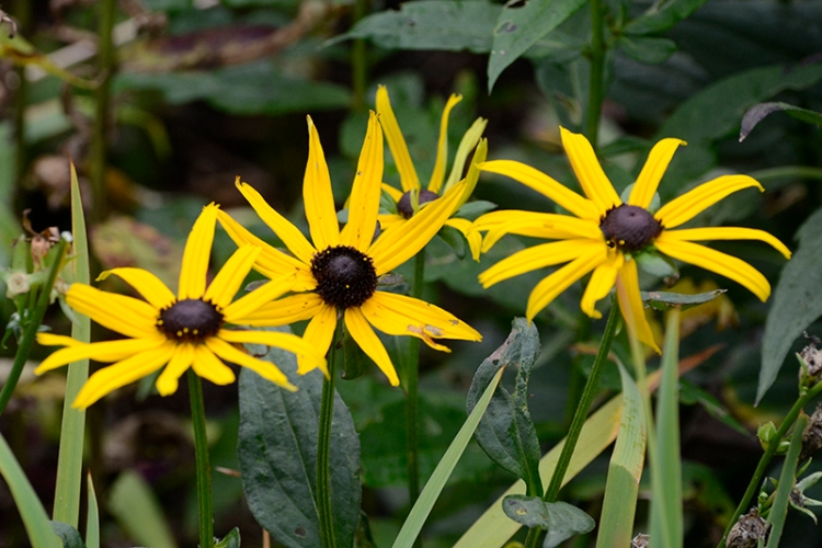 three rudbeckia