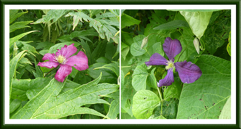 two lonely clematis
