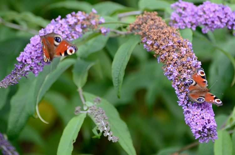two peacock butterfly