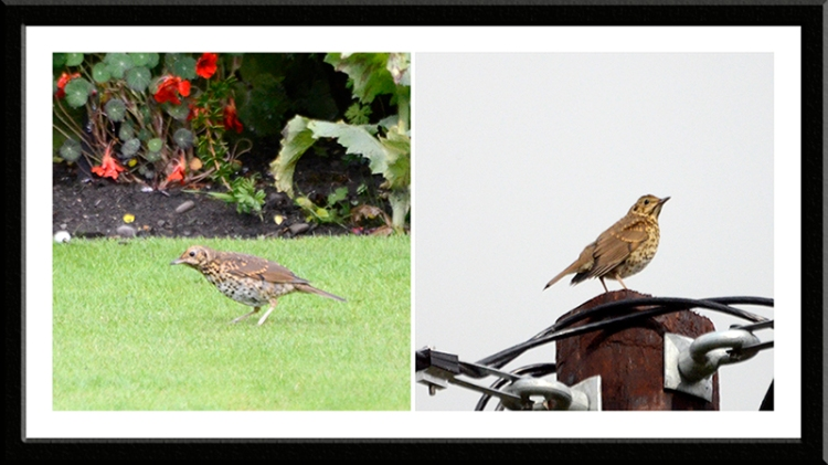 two thrushes