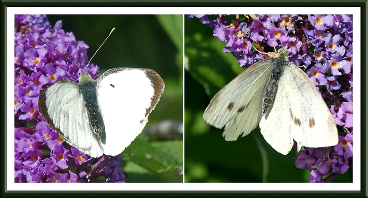 two white butterflies