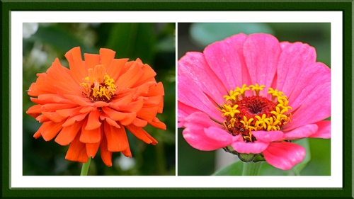 two zinnias