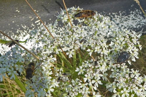 umbellifer and insect
