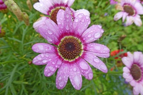 wet argyranthemum