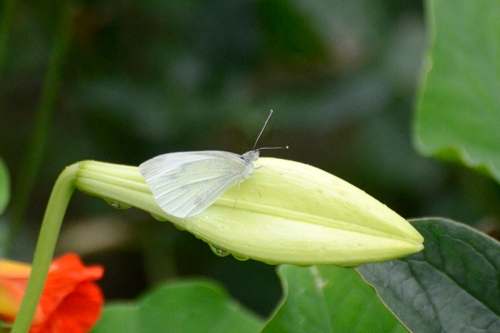 white butterfly on lily