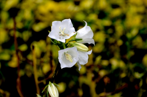 white campanula