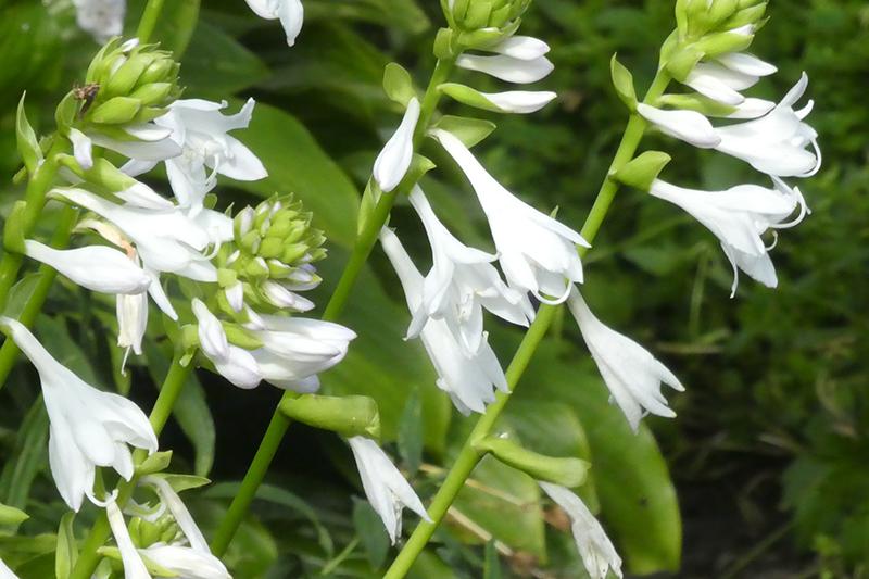 white hosta flowers