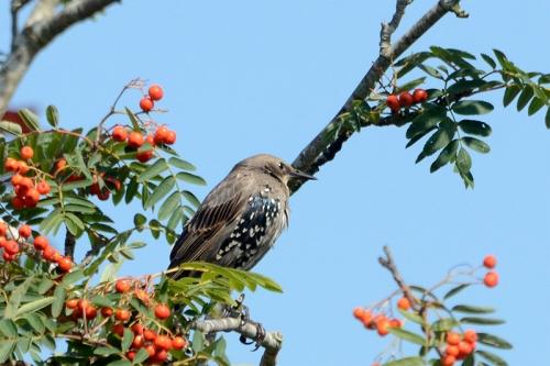 young starling in rowan