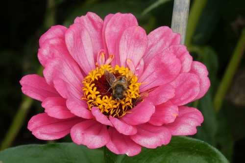 zinnia with bee