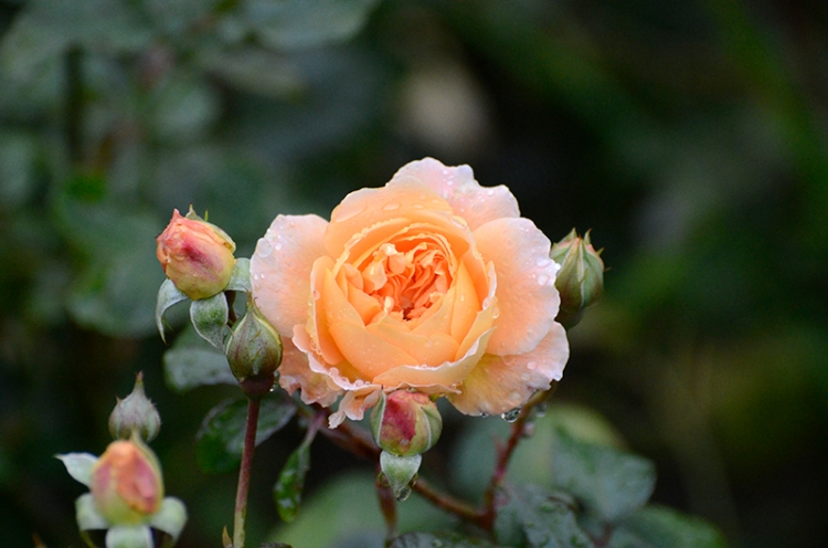 am princess margareta rose