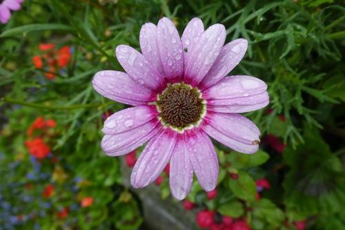 argyranthemum in rain