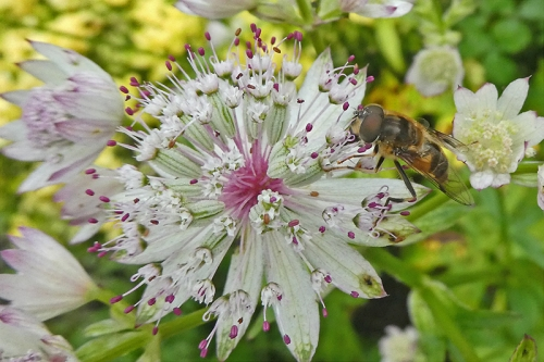 astrantia with insect