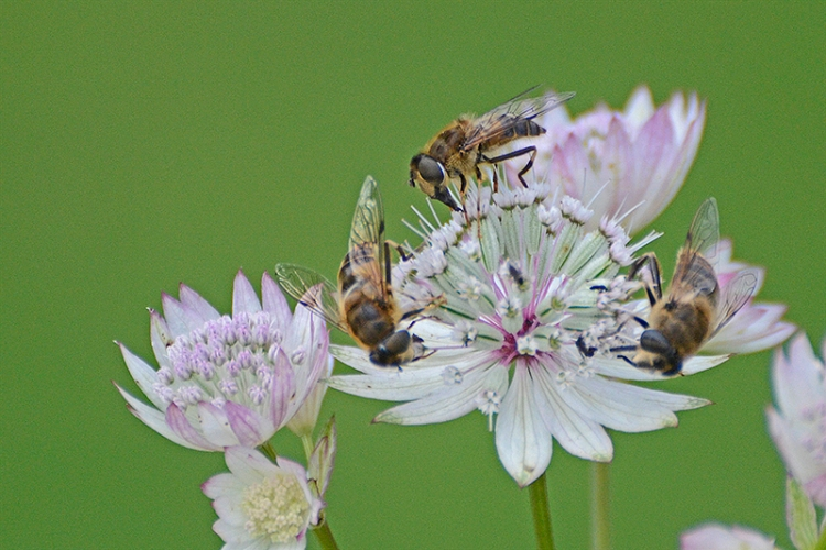 astrantia with three insects