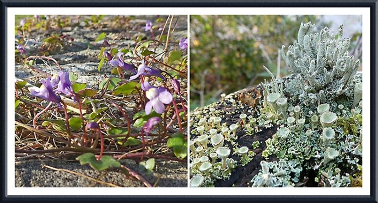 auld stane brisge flower and lichen