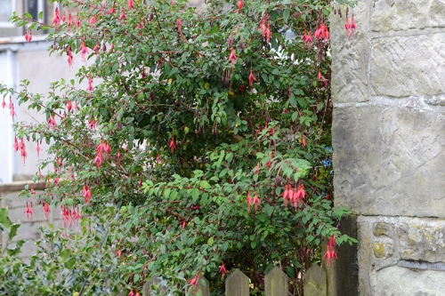 backgate fuchsia