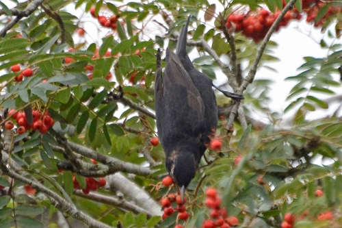 balckbird diving for berry