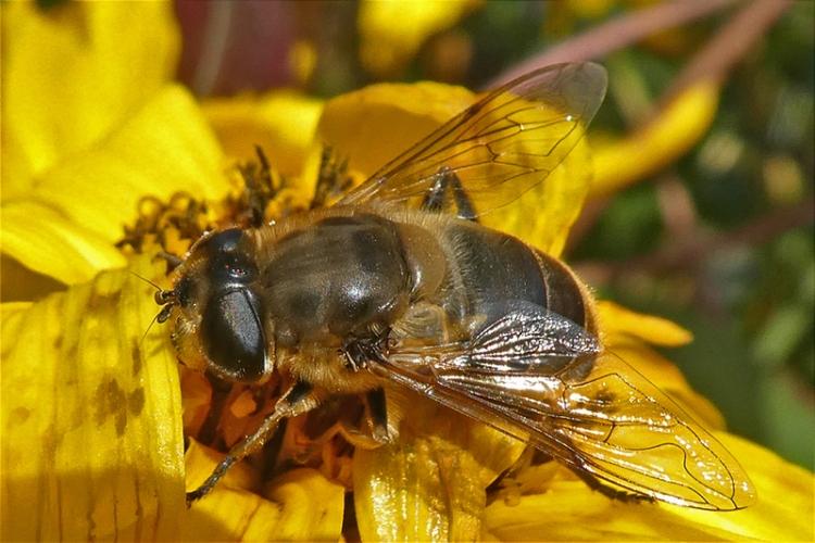 bee on rudbeckia close