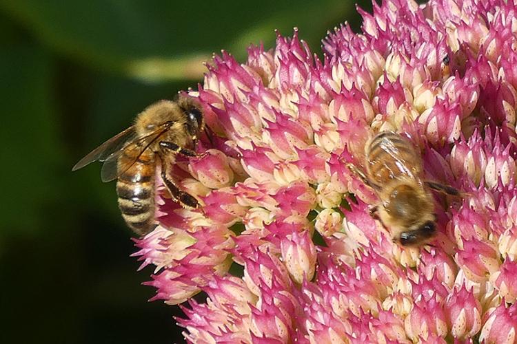 bees in sedum