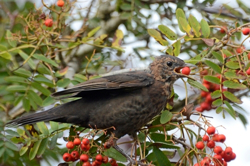 berry in blackbird beak