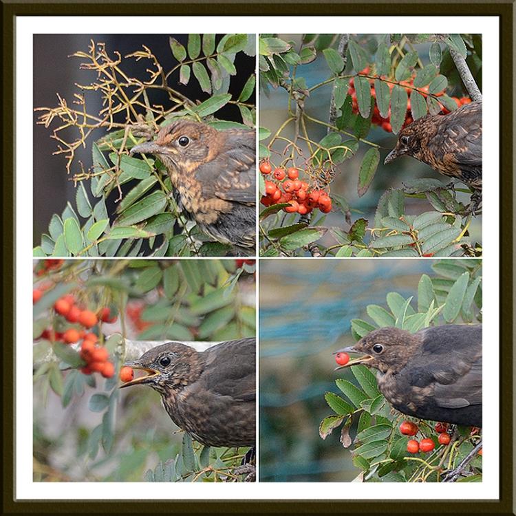 birds berry