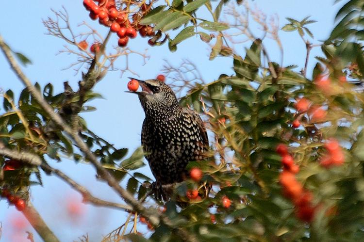 blackbird and rown berry