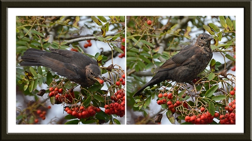 blackbird eating berries