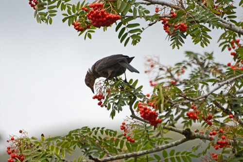 blackbird in rowan tree