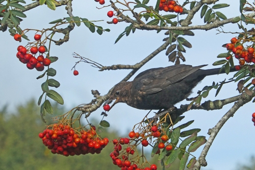 blackbird in rowan