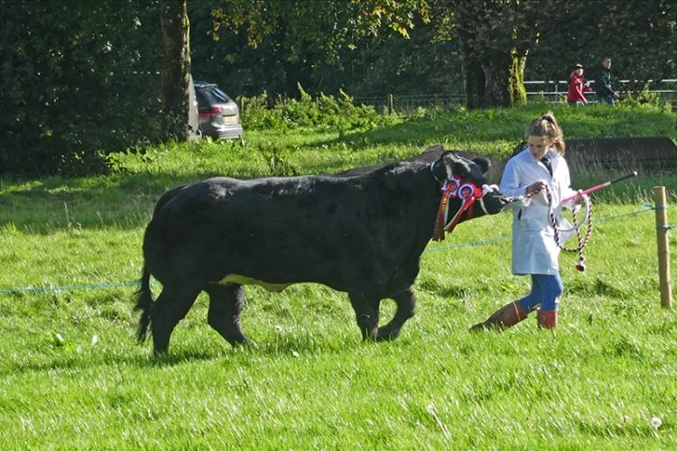 bull at ag show