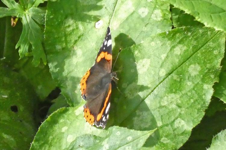 buttefly on hosta