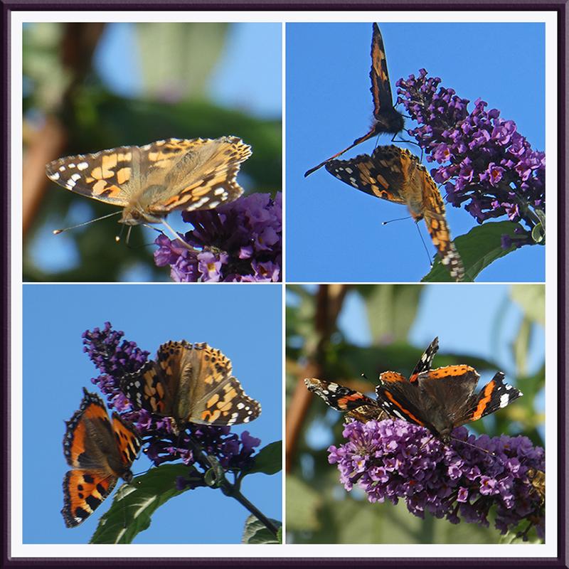 butterflies on scarce buddleia