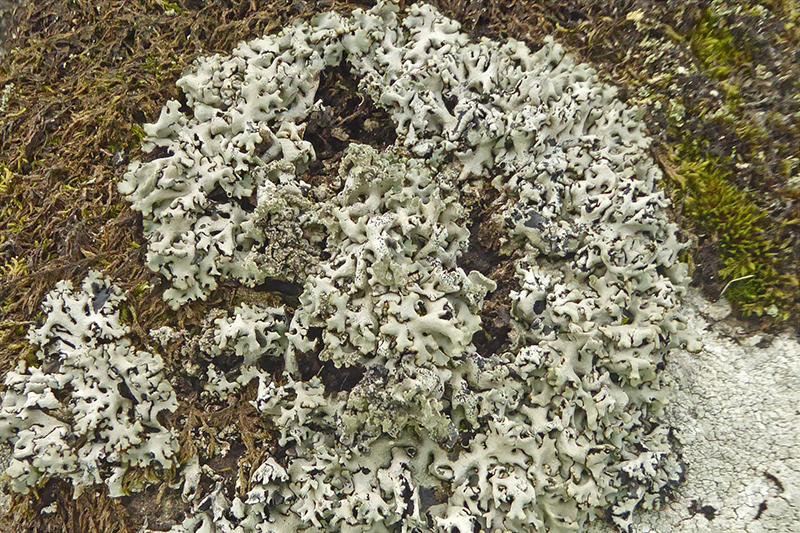 callisterwall lichen (2)