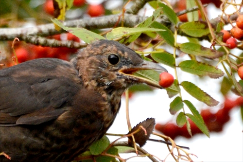 close up balckbird with berry