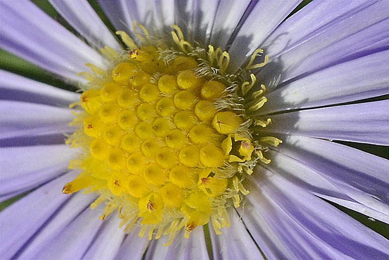 close up of daisy centre