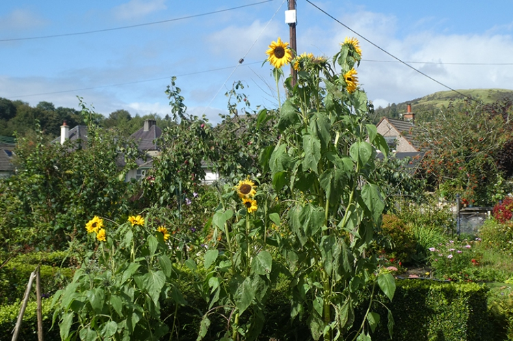 contrasting sunflowers