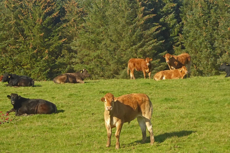 cows posing prettily