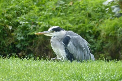 crouching heron
