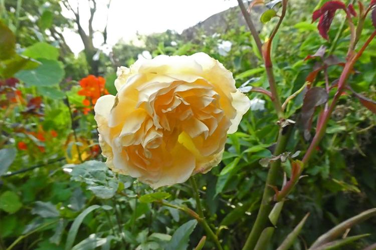 crown princess margareta rose sept