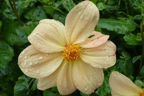 dahlia in rain