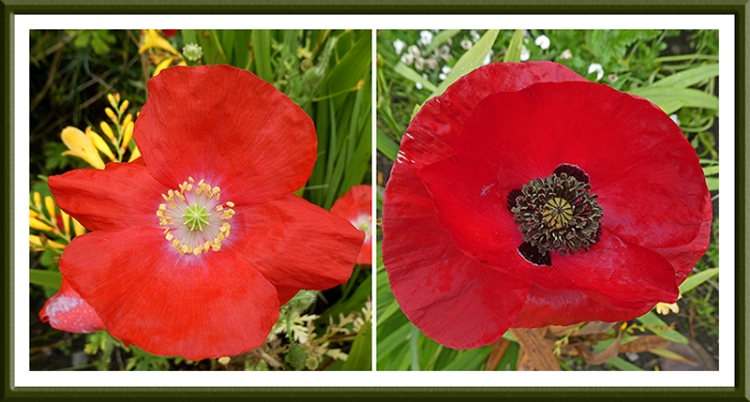 deep red poppies