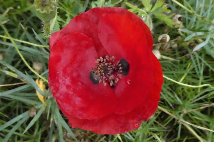 deep red poppy