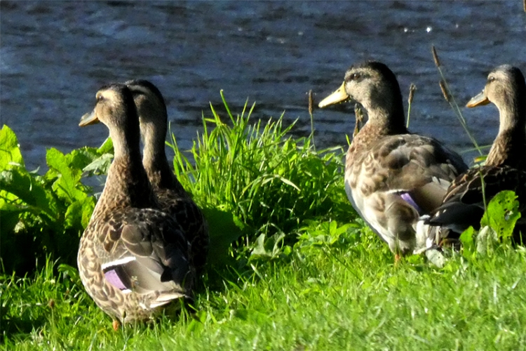 ducks on kilngreen