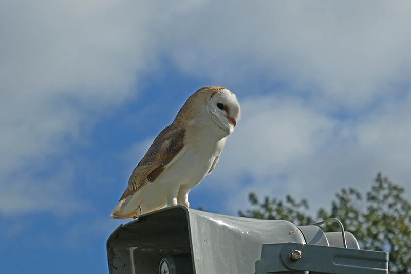 errant owl at Ag show