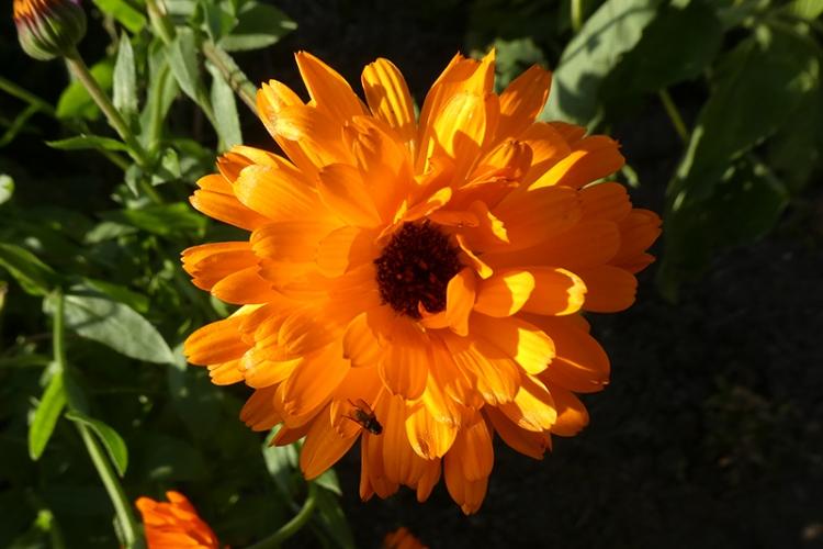 evening icelandic poppy