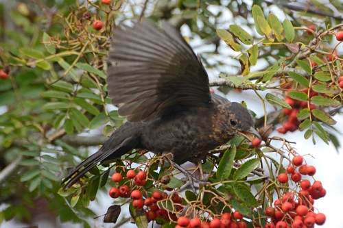 flying berry blackbird