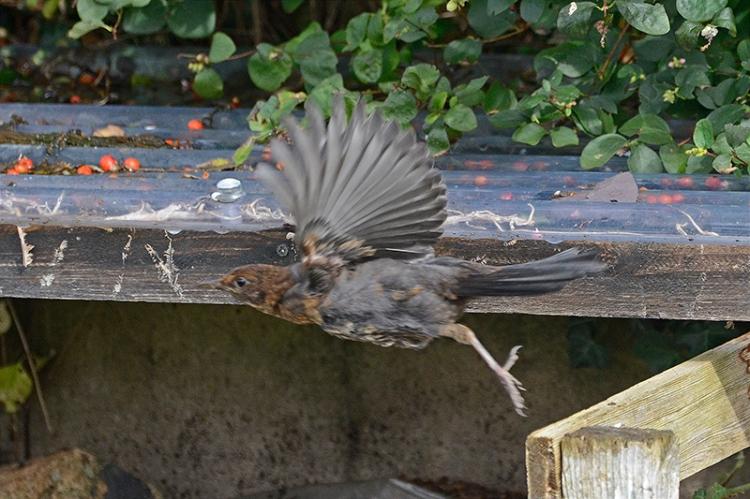 flying blackbird